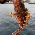 簡単でオススメ!鯛ラバのボトムノックで根魚を狙おう!(動画あり)