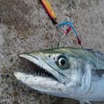 初心者も簡単にルアーで釣れる!サゴシ(サワラの若魚)が今年も開幕!