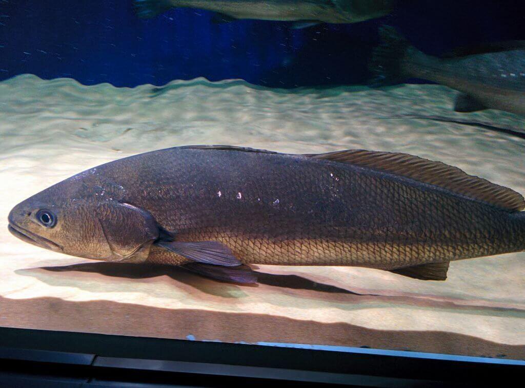 水族館のオオニベ