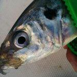 博多湾内に大型アジが乱舞中!尺〜40cmオーバーのメガ・ギガアジの数釣りも夢じゃない!