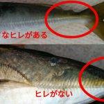 釣ったのはどっち?マアジとマルアジの違いを画像付きで解説。2種類の見分け方を覚えよう!