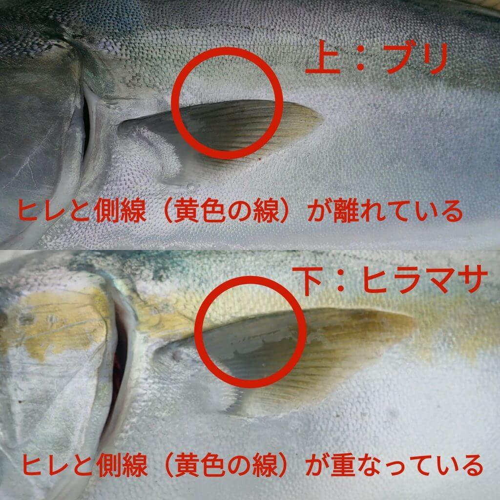 胸ビレの位置の違いでブリとヒラマサを見分ける