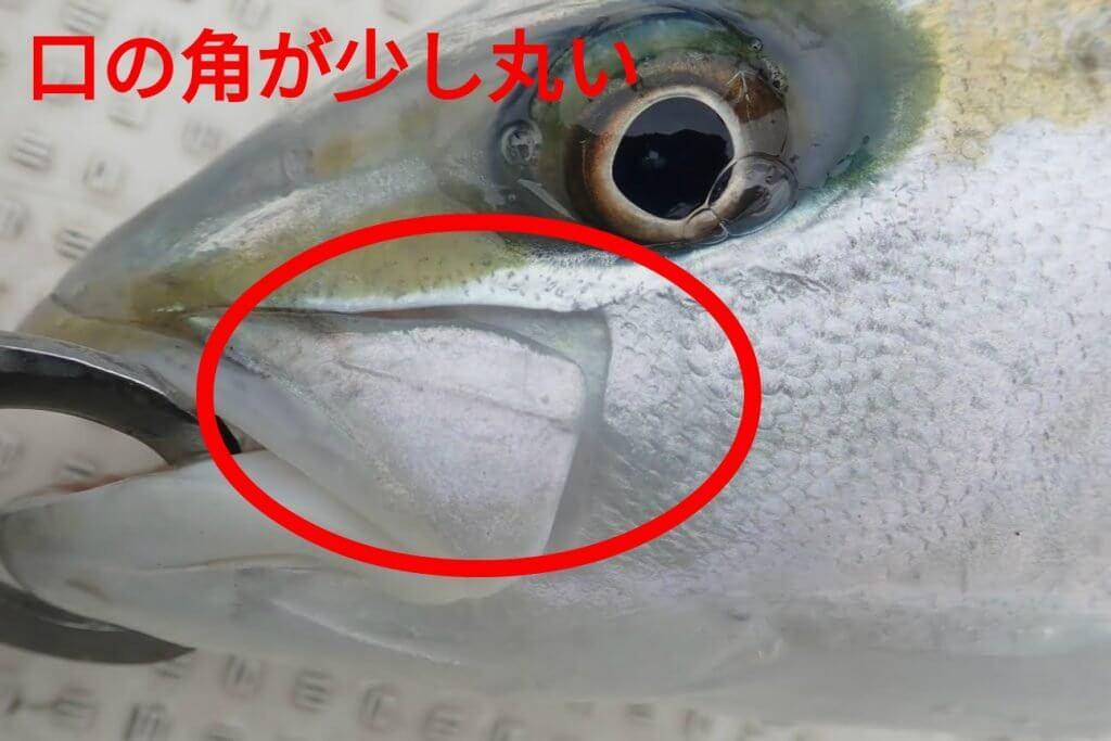 ヒラマサの口の角は少し丸みを帯びている