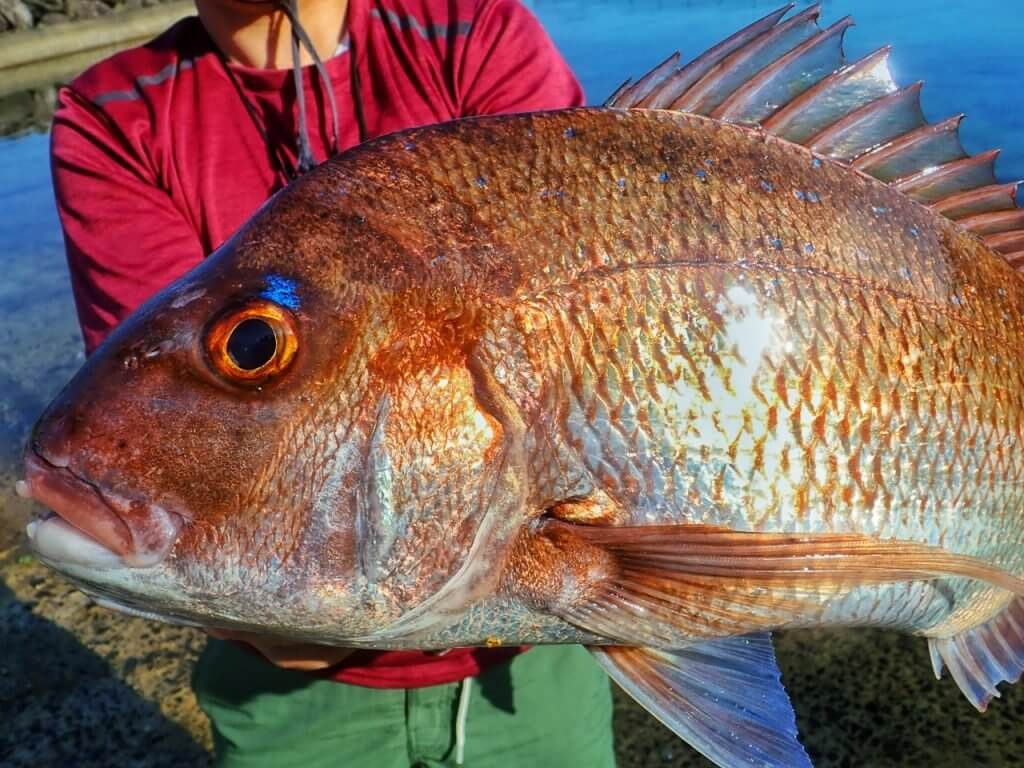 壱岐で釣れた真鯛
