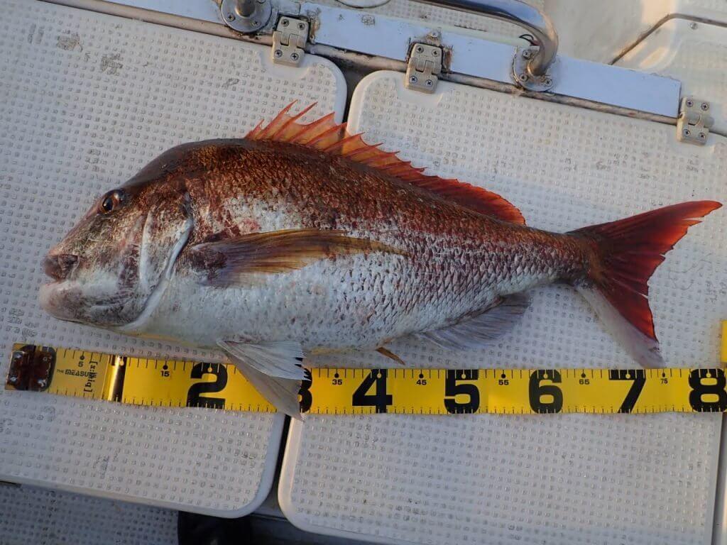 83cm真鯛