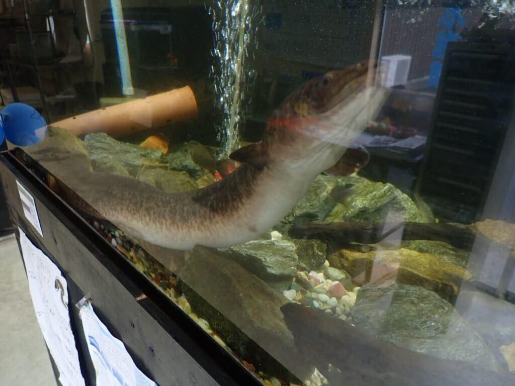 やながわ有明海水族館のオオウナギ