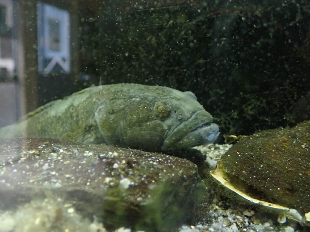 やながわ有明海水族館のドンコ