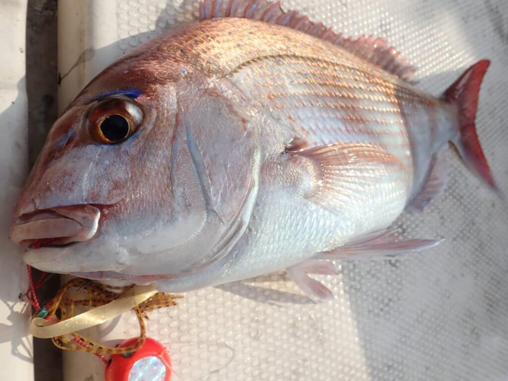 鯛ラバで釣れた小型の真鯛
