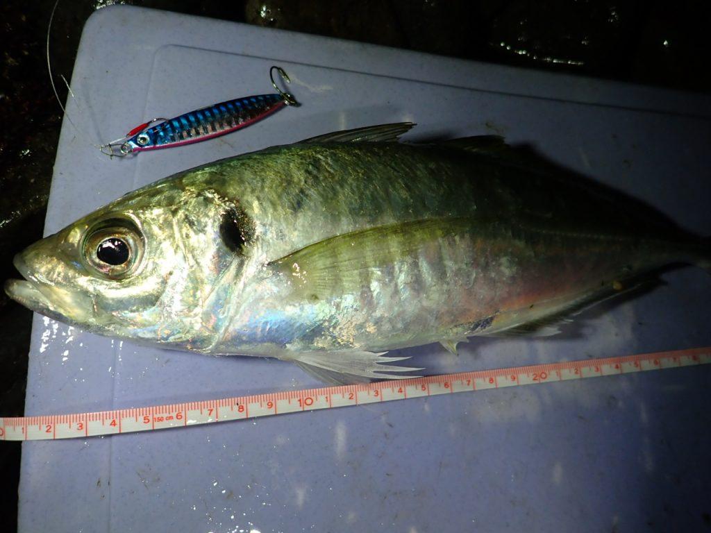 メタルジグで釣れた36cmの良型のアジ