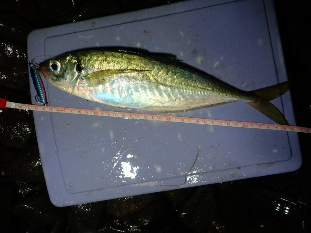 ダイソージグで釣れる真アジ