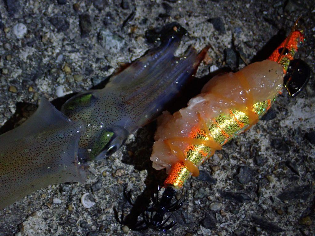 ダイソーエギで釣れたササイカ