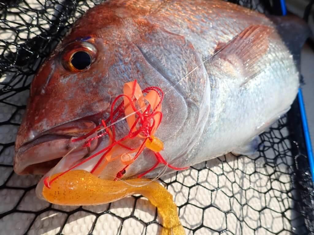 タイラバで釣れた良型真鯛