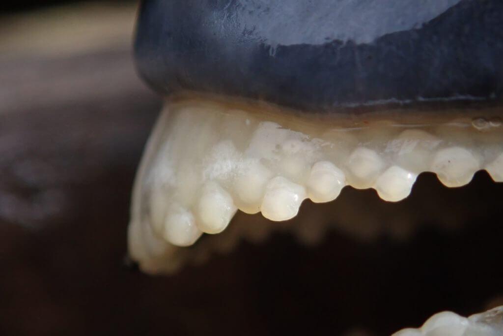 硬い貝殻やウニを砕く石鯛の歯