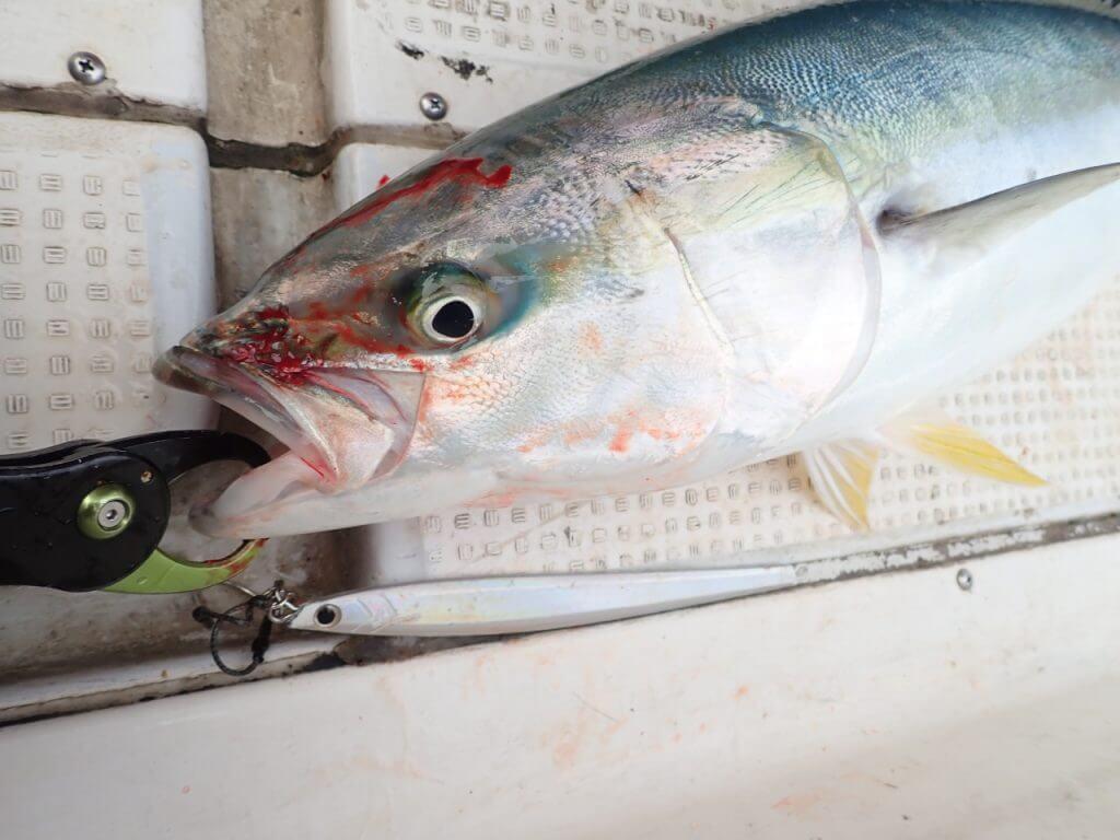 ファーストヒットは3kg程のヤズ(ブリの若魚)