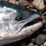 ご当地鉄板ルアーで釣れるかサクラマス!?幻の魚を求めて!北海道へトラウト遠征!〜中編〜