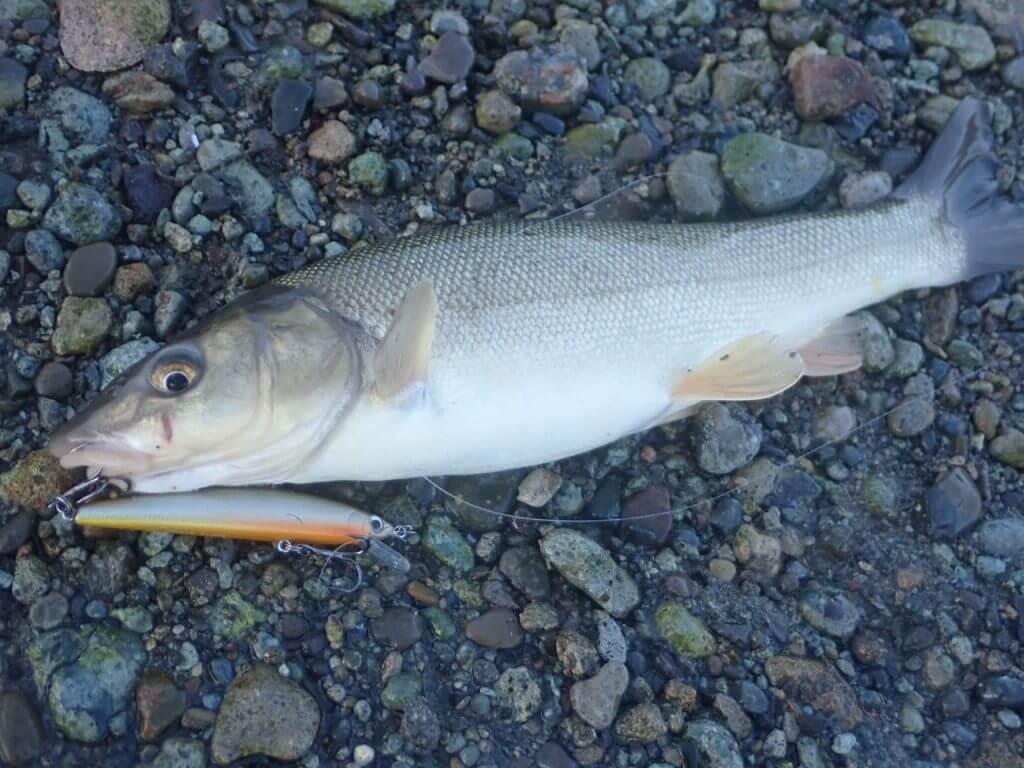 ミノーで釣れたエゾウグイ