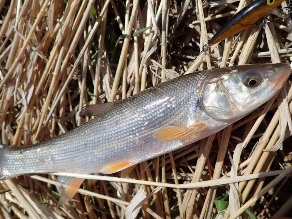 ミノーで釣れたウグイ