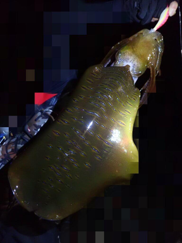 釣友が上げた1.5kgのアオリイカ