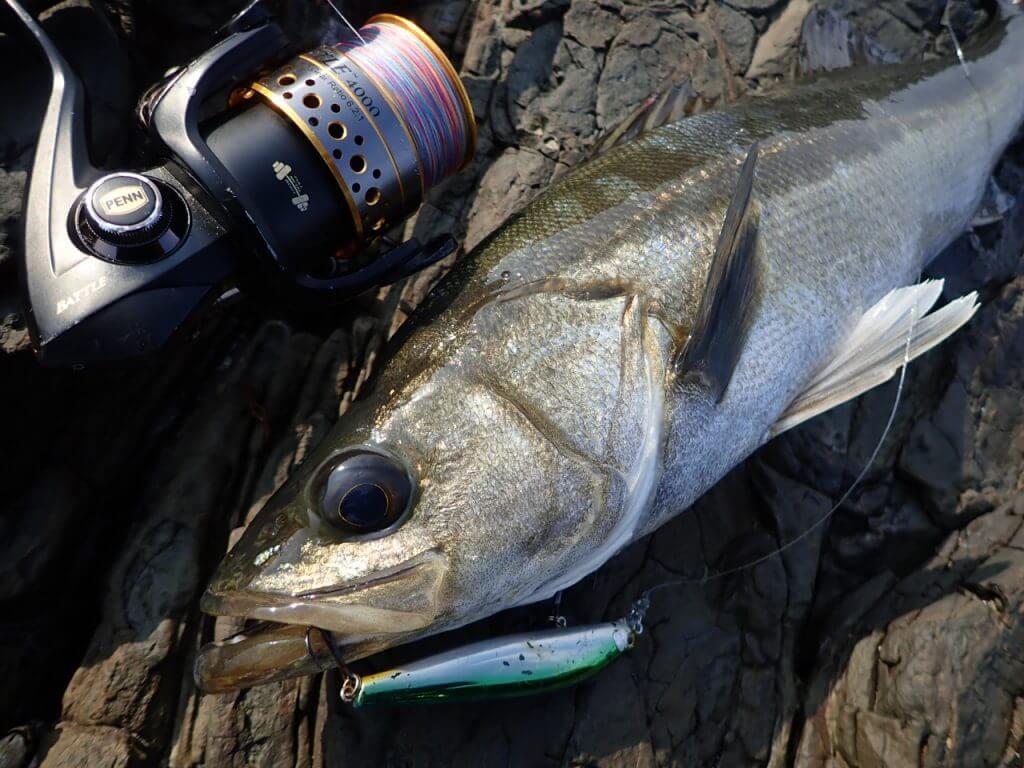 綺麗な魚体の磯マル