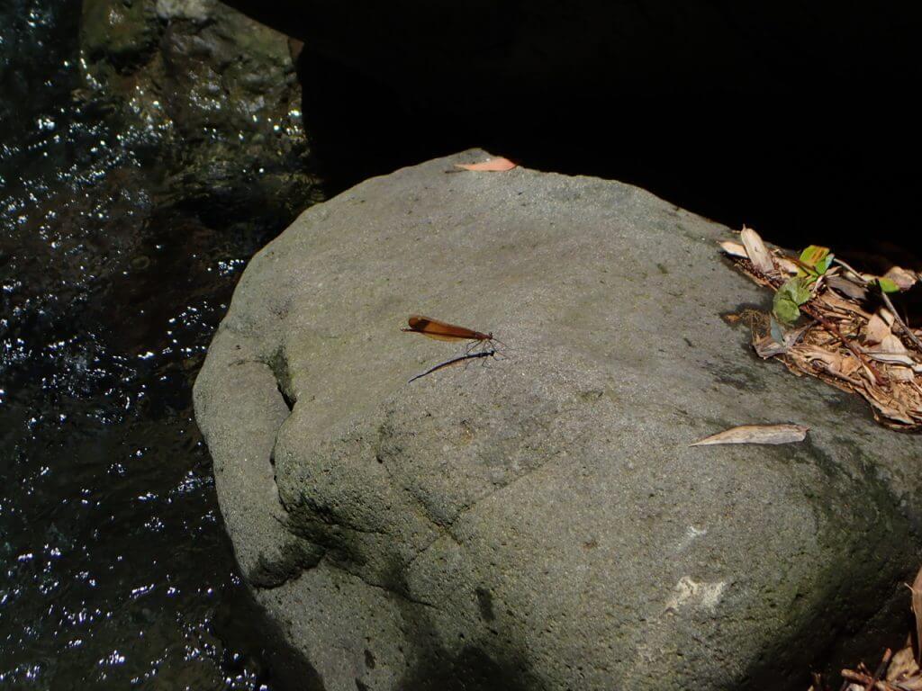 岩に止まった糸トンボ