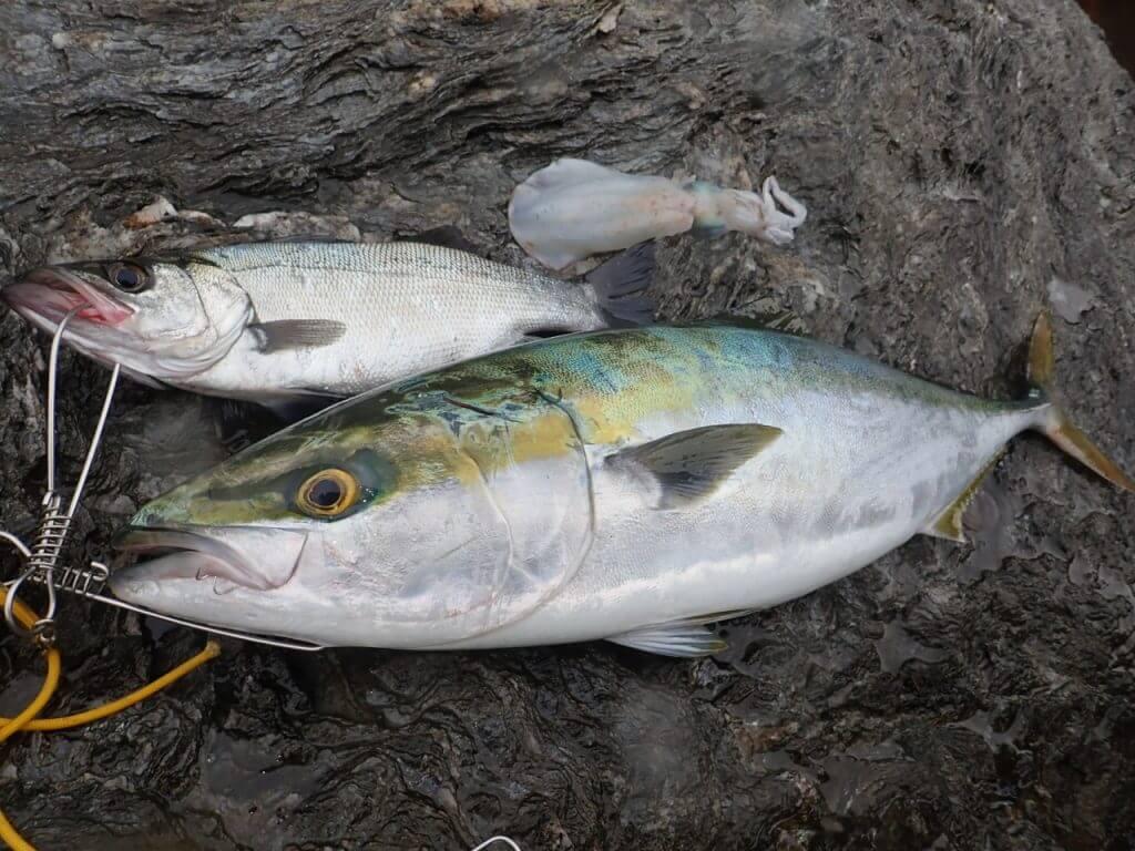地磯で釣れた青物とヒラスズキとアオリイカ