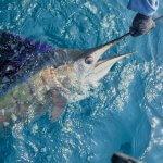 セイルフィッシュを目指しロンピンへ単独釣行!極上のスピード、圧巻のテイルウォーク…遂に憧れの魚と初遭遇。【マレーシア遠征②】