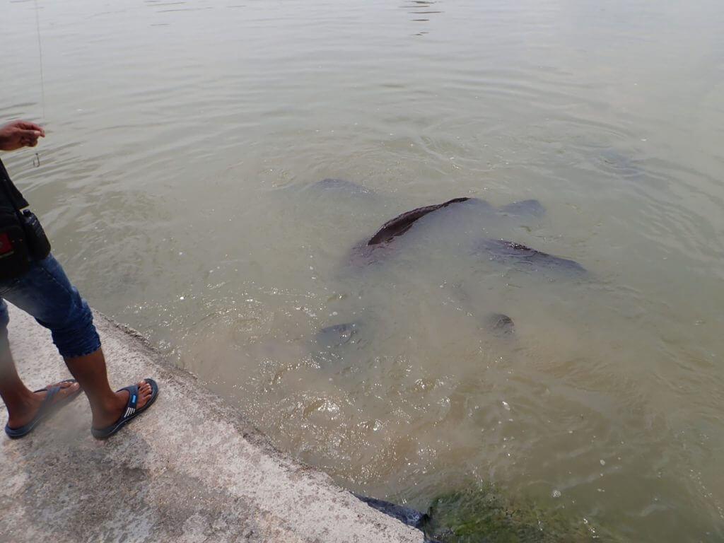 水面を叩く音に寄ってくる巨大グルーパー達
