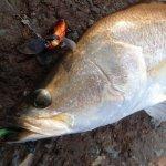マレーシアの釣り堀「Kolam siakap jugra RM3」。バラマンディ、グルーパー、GTなどいろんな魚種がまとめて狙える!