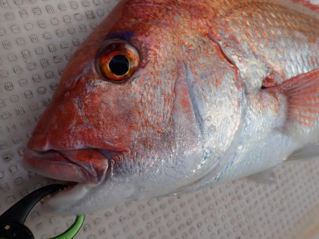71cmの立派な真鯛