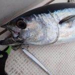 ジギングで狙うはコシナガマグロ!さらに真鯛にクエにヒラマサ…豪華な釣果。