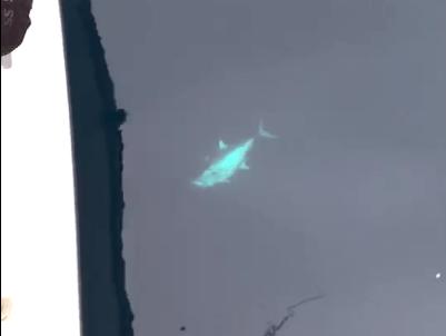 水中に見えるコシナガマグロ
