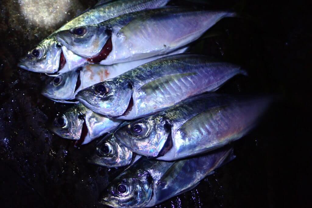 プラグで釣れたアジ
