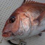 最近の釣果。乗っ込み真鯛にギリギリセーフ!春の終わりと夏の始まりを感じる魚達でした。
