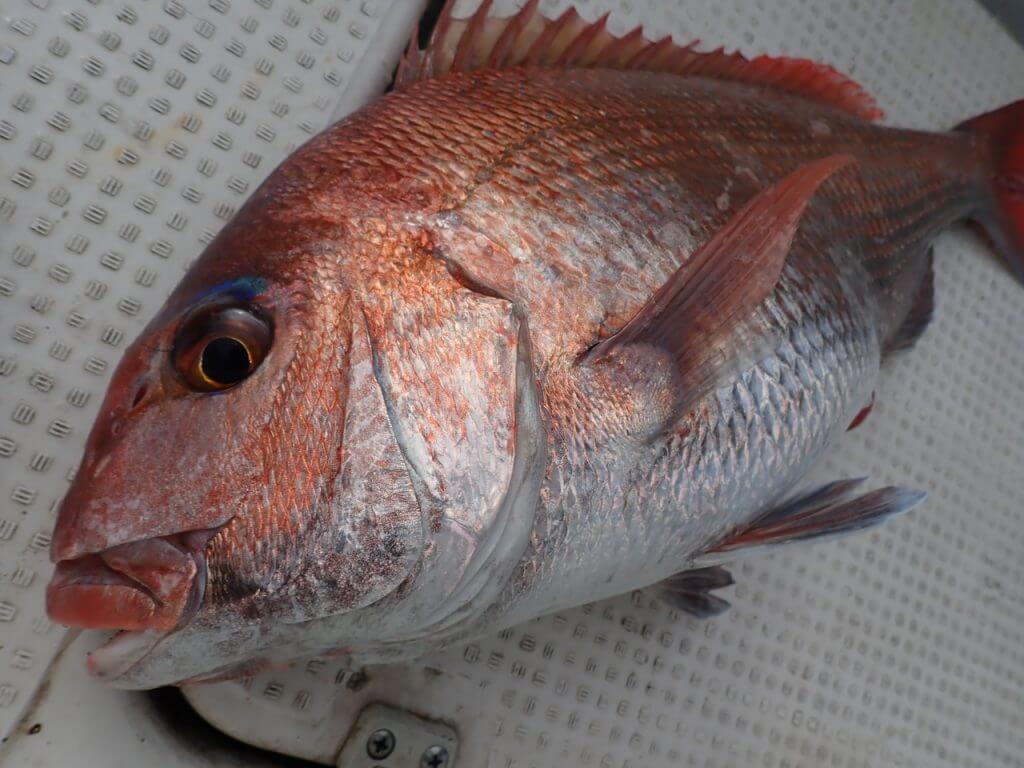 タイラバで釣れた真鯛