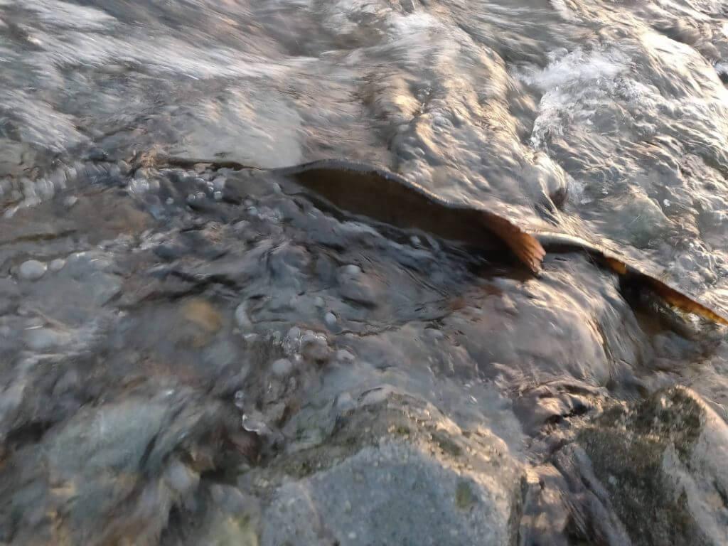 釣り場の横ではカラフトマスの遡上を見ることができる