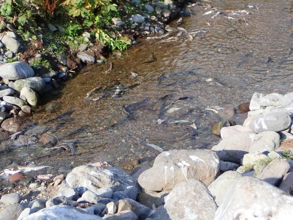 川を遡上するカラフトマス