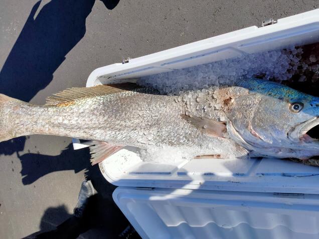 釣友が釣り上げた140cmのオオニベ
