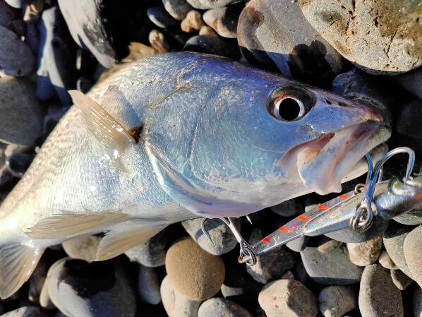 メタルバイブで釣れたオオニベ(小ニベ)