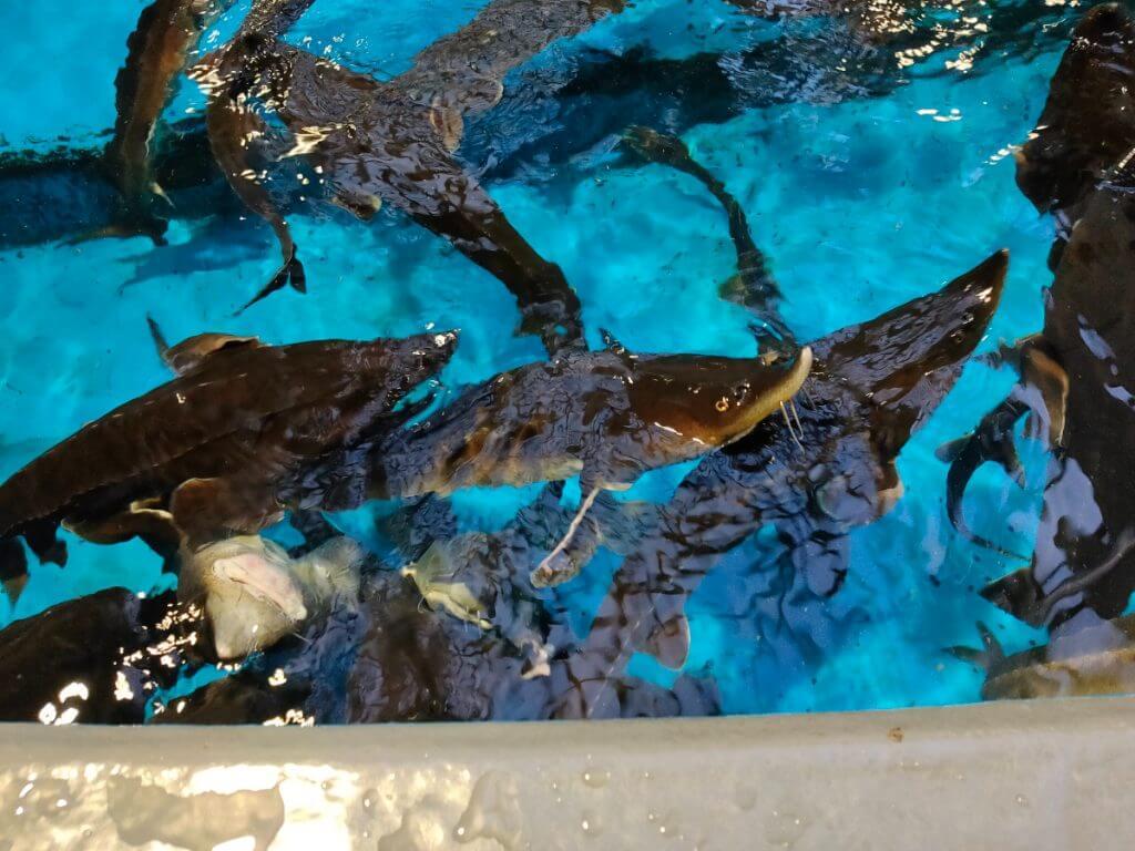 チョウザメの餌やり水槽