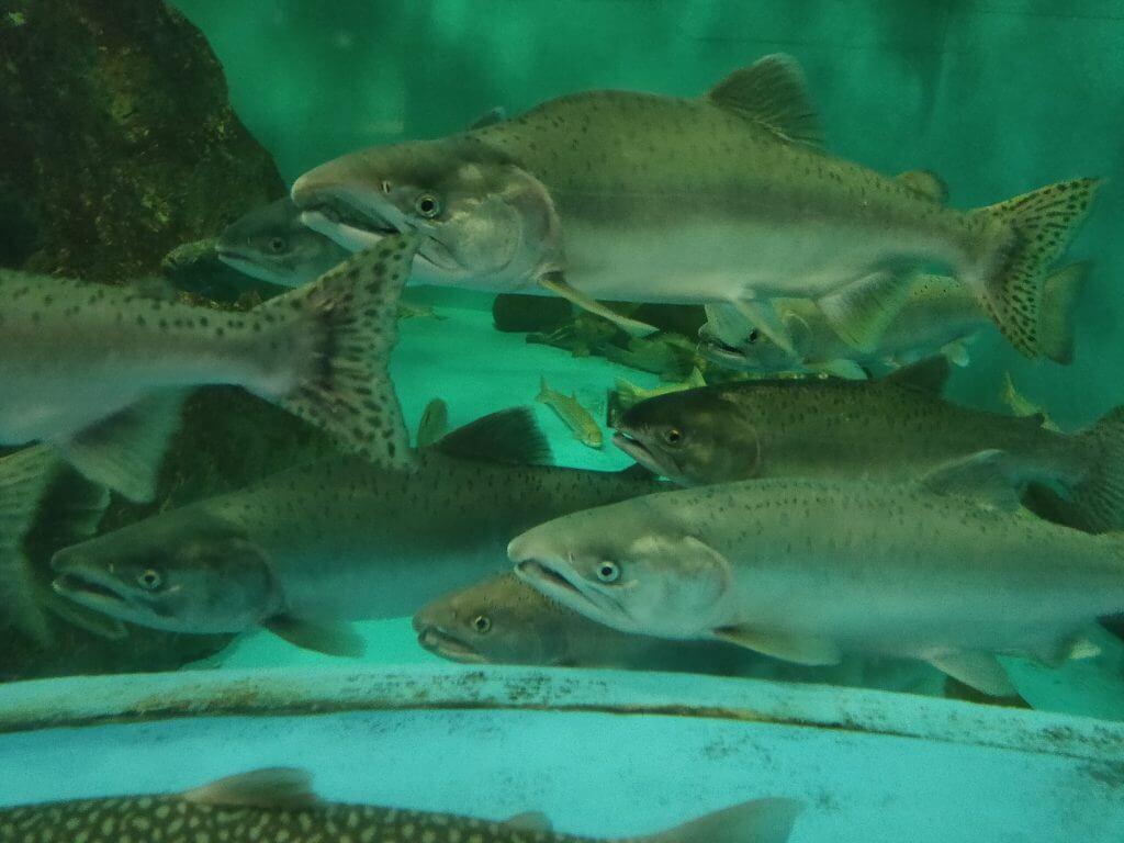 鱒や鮭も一緒に泳ぐ