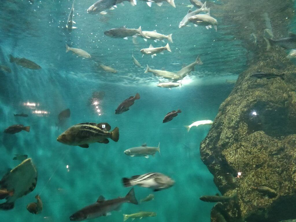 北海道近海に住む魚が泳ぐ大水槽