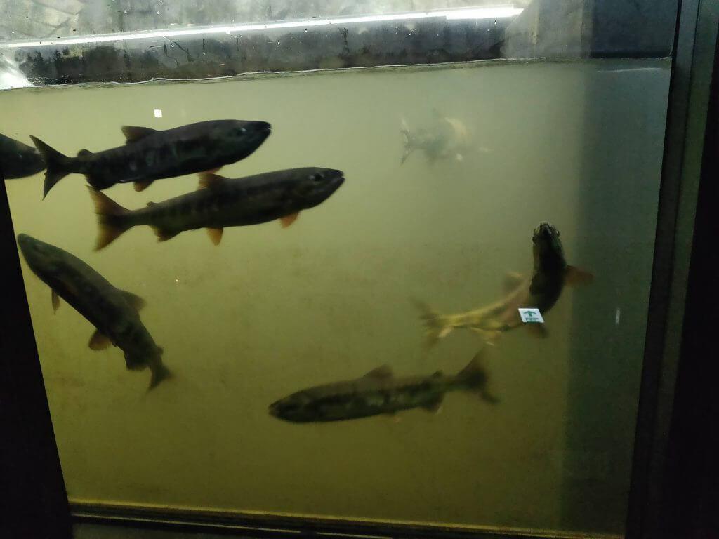 シロザケが遡上する魚道水槽
